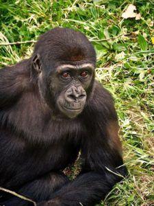 gorila joven