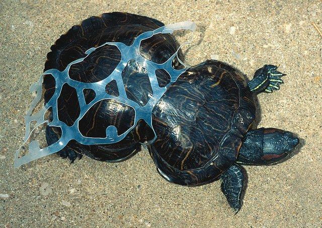 Tortuga en la playa con plastico
