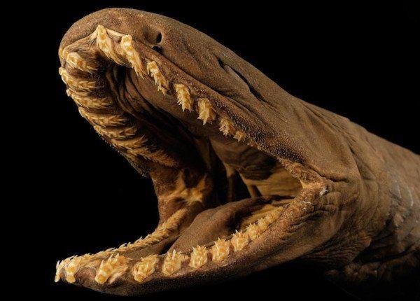 El tiburón anguila vive en el océano atlántico y pacífico