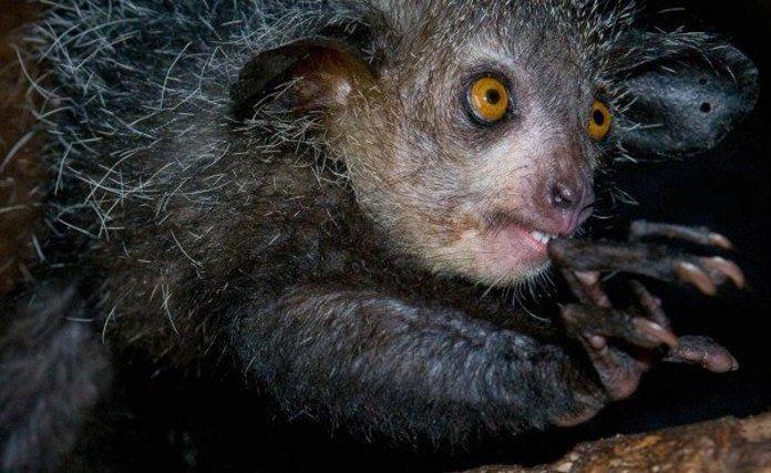 El lemur es un animal nocturno